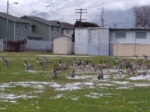 Even The Geese AreConfused